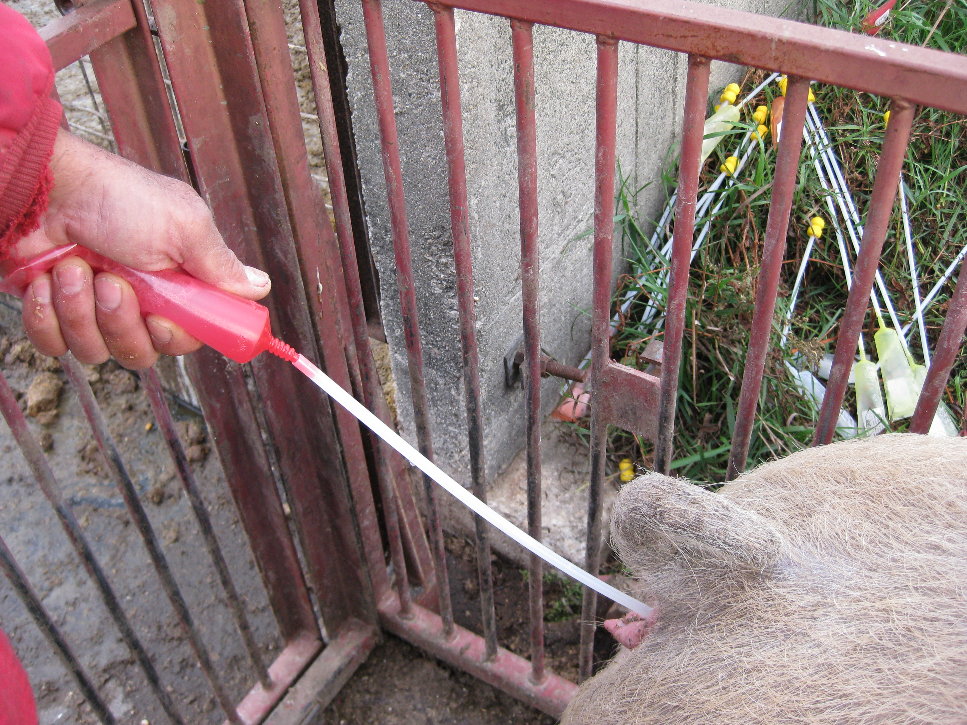 Swine Artificial Insemination AI Foam Breeding Rod Insert w// Handle Sow 5 Count