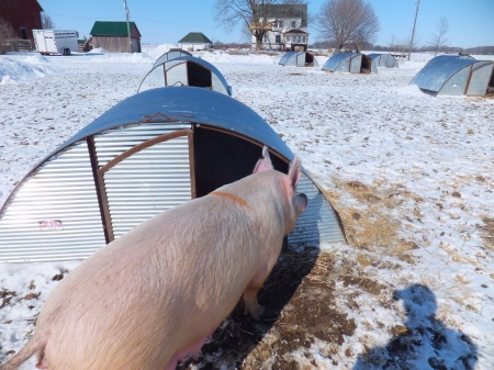 Sow at Farrowing Hut