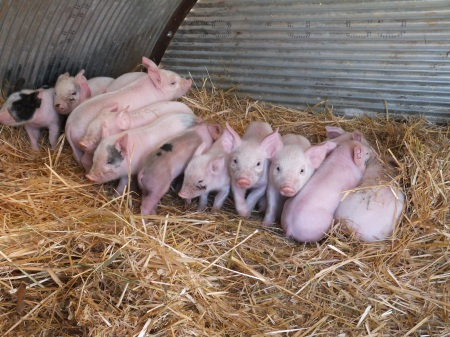 Piglets in Farrowing Hut