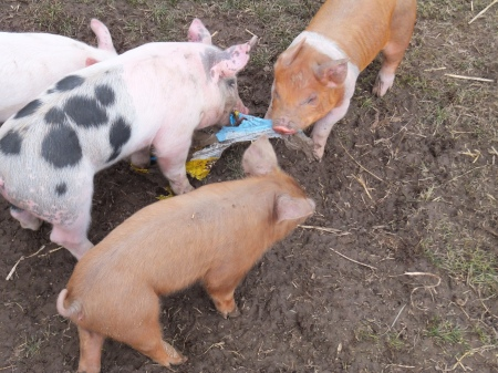Piglets Fighting