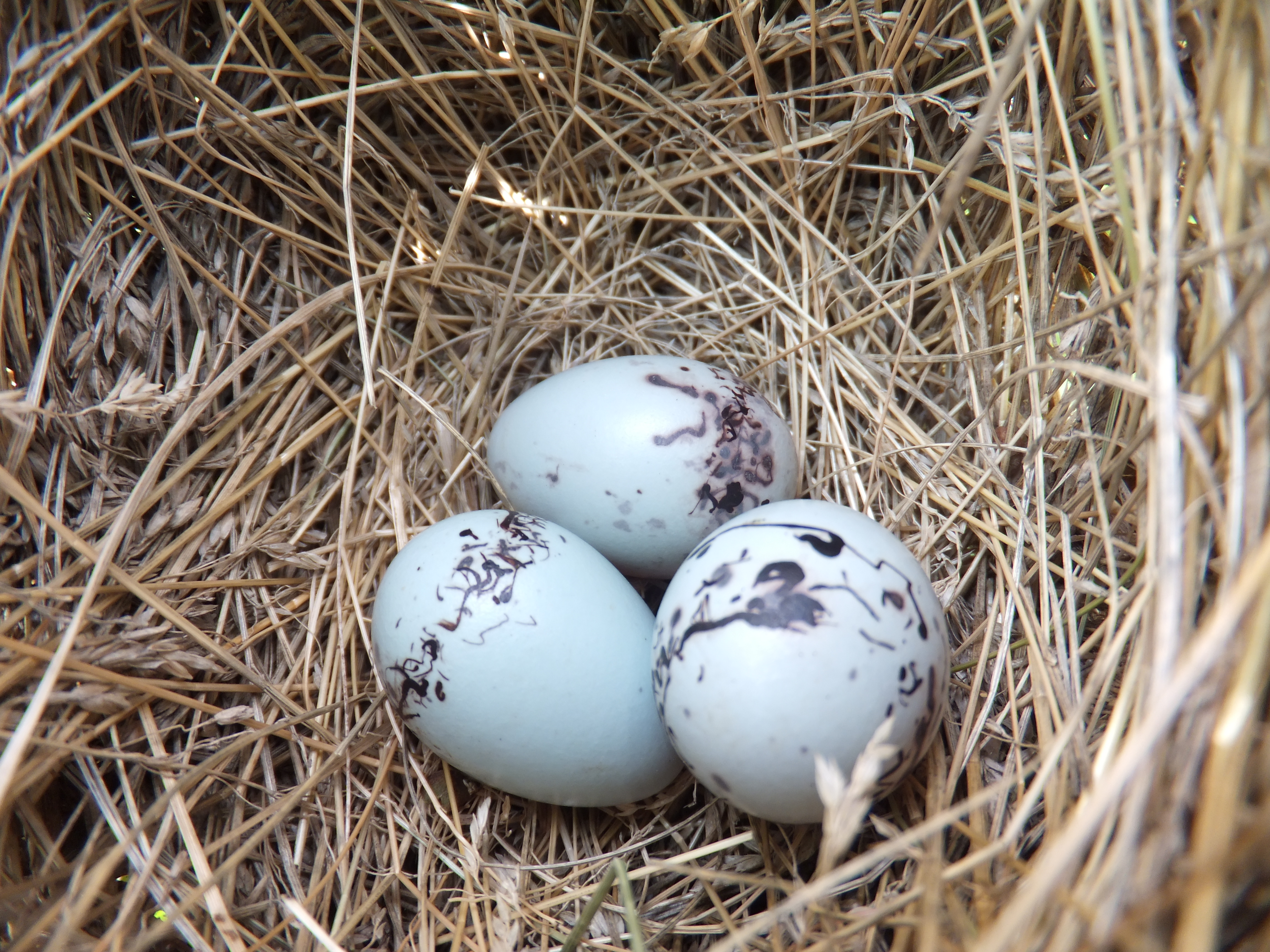 Red-winged Blackbird Eggs