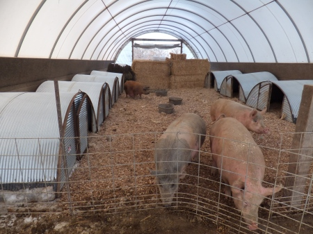 Farrowing Huts in Hoop Barn
